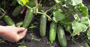 Сажаем огурцы в июле: преимущества и особенности летней посадки