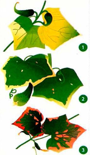 Как определить чего не хватает огурцам по листьям