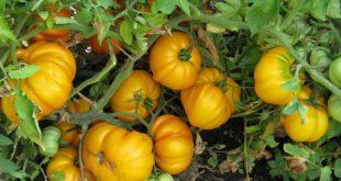О выращивании высокорослых крупноплодных томатов