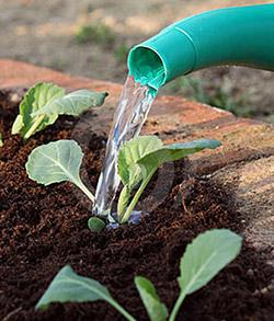 Полив капусты. Как правильно поливать капусту