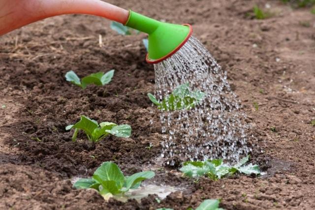 После посадки капусту нужно полить