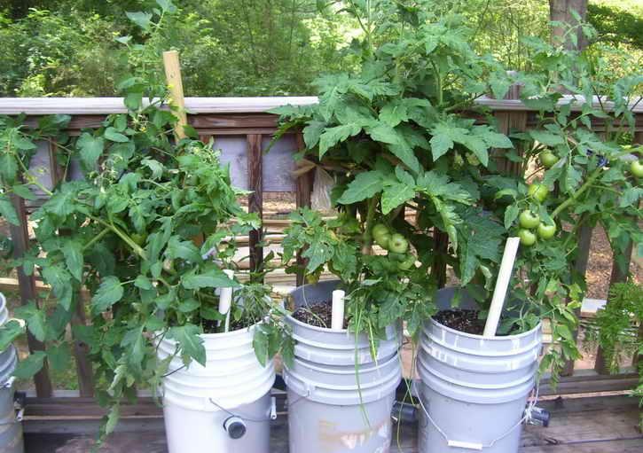 Выращивайте томаты в ведрах