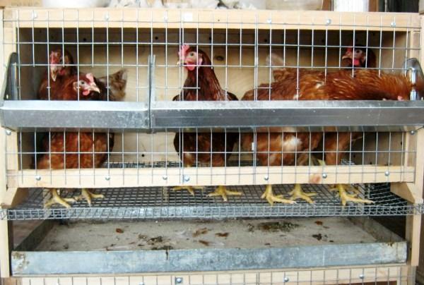 Клетки для содержания птицы