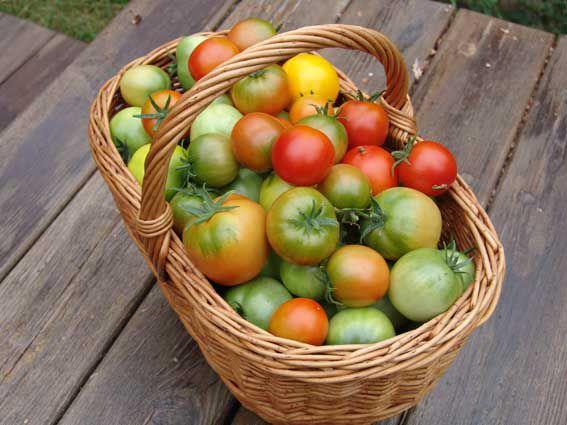 В какие сроки лучше убирать помидоры