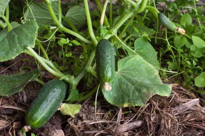 Можно ли выращивать огурцы много лет на одном месте — мнение дачника