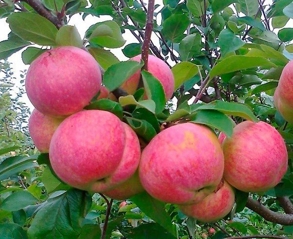 Почему карликовые деревья (яблони) вырастают высокими?