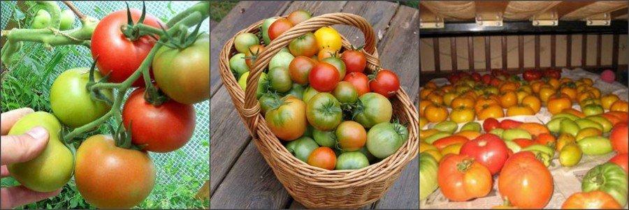 Закладываем томаты на хранение правильно
