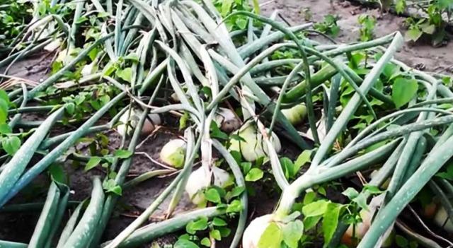 7 правил выращиванияхорошего лука
