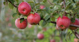 Полезный инструмент для сбора урожая яблок и груш