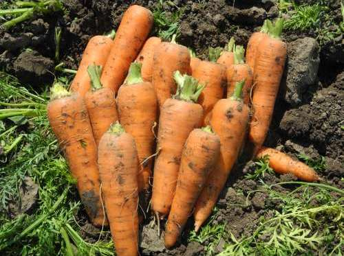 Морковь без сердцевины?