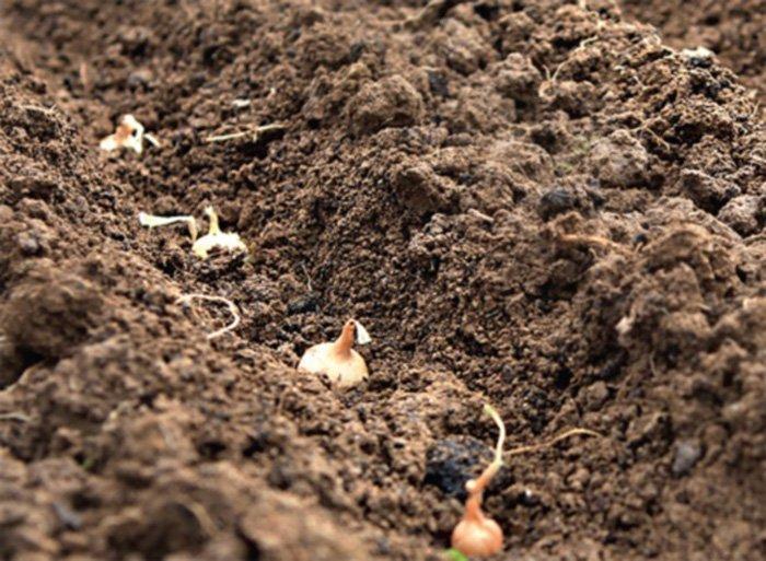 Когда сажать чернушку на севок в открытый грунт 68