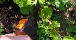 Крыжовник – уход весной за саженцами и взрослыми кустами +Видео