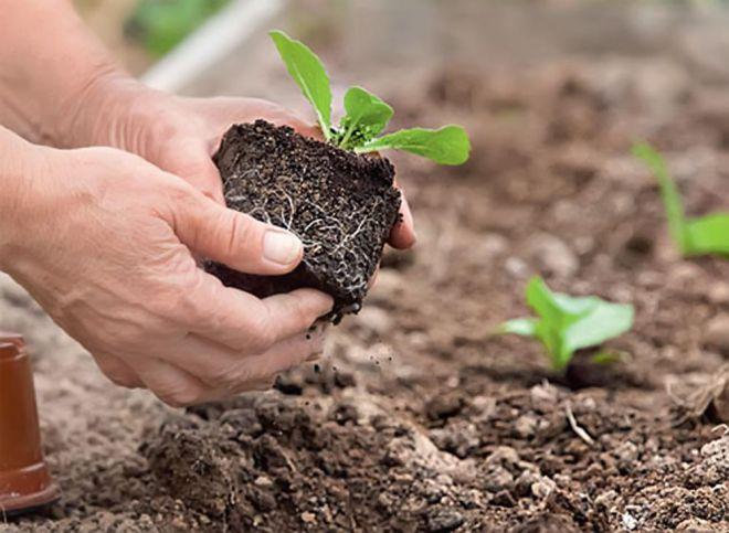 Цветная капуста: особенности выращивания и хранения