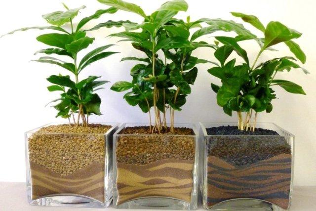 Как вырастить кофе из зерен в домашних условиях
