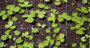Как вырастить клубнику на рассаду в домашних условиях из семян
