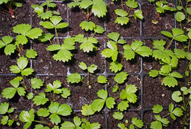 Земляника александрина выращивание из семян в домашних 80