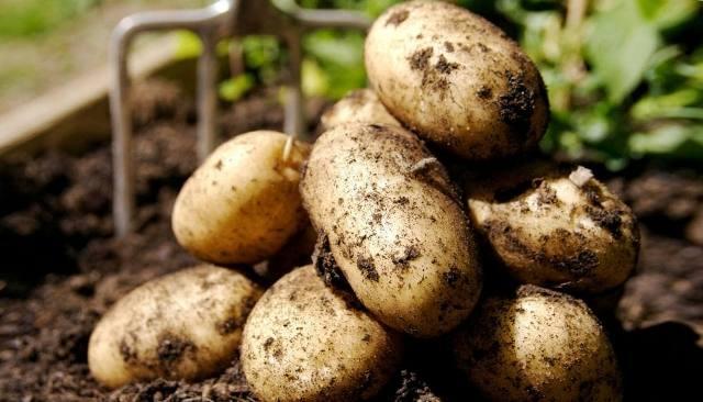 14 хитростей по выращиванию картофеля