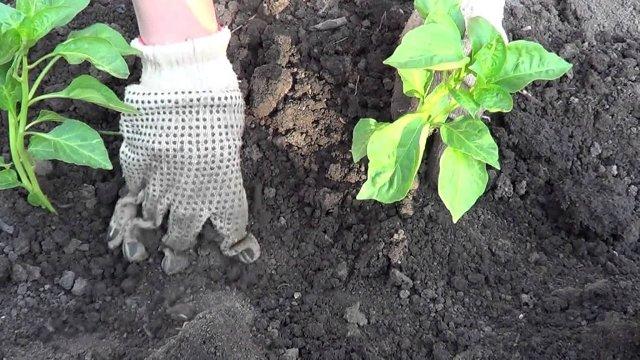 Высаживаем баклажаны