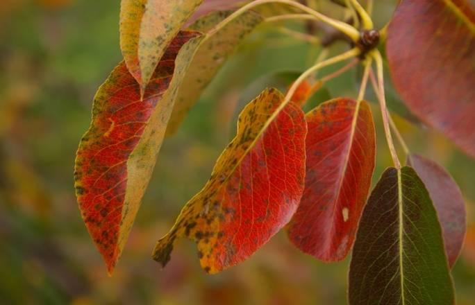 краснеют листья у груши