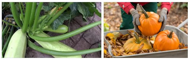 Как увеличить урожай тыквы и кабачков