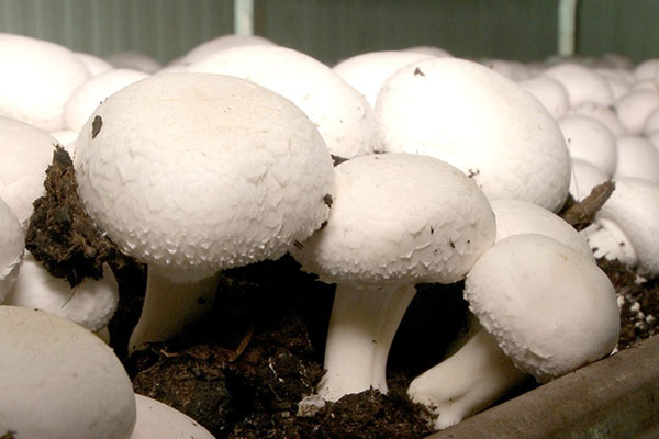 Выращивание шампиньонов разными способами: посадка и уход за грибами