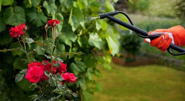 Как ухаживать за розой весной